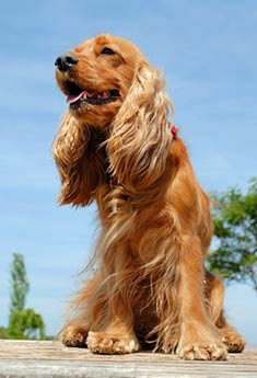 Cute English Cocker Spaniel Dog