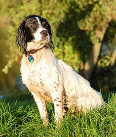 Pictures of dogs - English springer spaniel