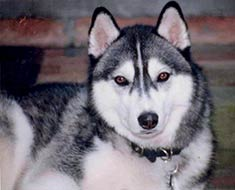 A Siberian Husky male will weigh between 45 and 60 pounds; females ...