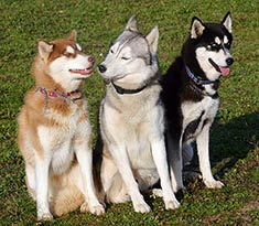 Siberian Husky Intelligence breeds
