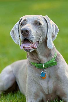 images of weimaraners