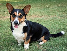 Welsh Corgi Cardigan