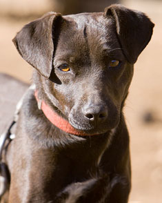 Paschendale Dog Breed