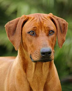 Kellin the female lead Rhodesianridgeback2
