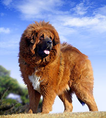 Tibetan Mastiff Breed Information