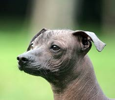 Xoloitzcuintli Breed