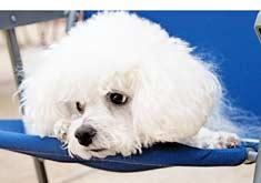 Maltese Dog Close-Up