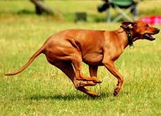Rhodesian Ridgeback running