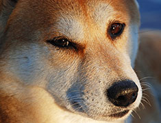 Shiba Inu close-up