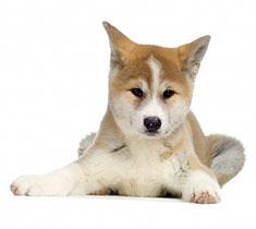 adorable Akita puppy