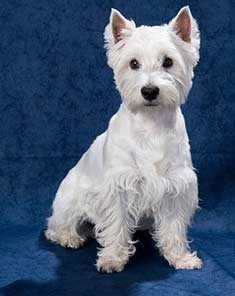 West Highland White Terrier on blue background