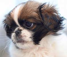 Pekingese dog profile