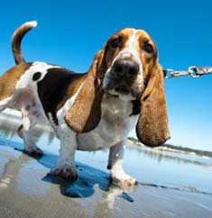 Basset Hound dog on the beach