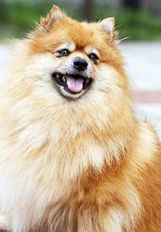 pomeranian cough pomeranian breed information 5809