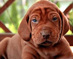 Vizslas are affectionate and cuddly
