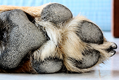Foot pad of a dog