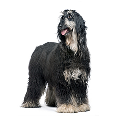 Beautiful Afghan dog