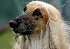 Afghan dogs are good at lure-coursing
