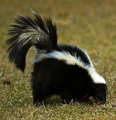 Skunks transmit rabies