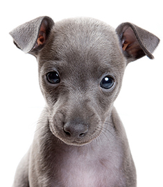 puppy greyhound