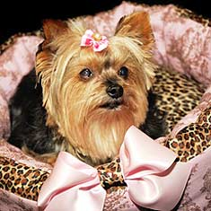 Yorkie in a stylish dog bed