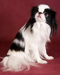 Black and white Japanese Chin dog