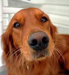 Close up of an Irish Setter's face