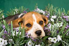 Beagle puppy surrounded by flowers