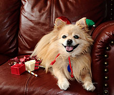Pomeranian dog posing with gifts