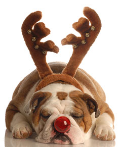 Bulldog dressed as Rudolph