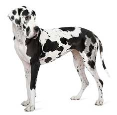 Harlequin Great Dane Dog