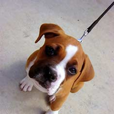 Boxer puppy on a leash