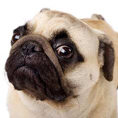 Closeup of a Pug dog