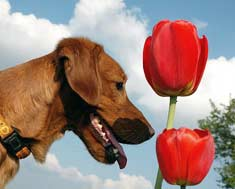 Dog with tulip flowers