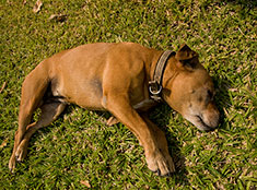 Unconscious dog laying in the grass