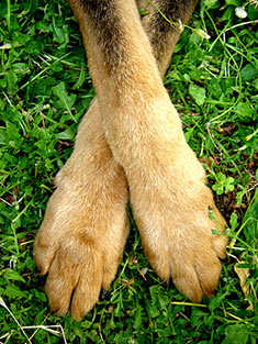 Dog's crossed legs