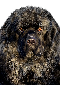 Black Newfoundland Dog Closeup