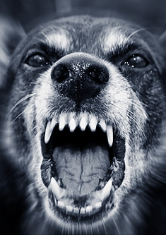Dog getting ready to bite in a fight