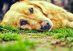 Sad dog staring at camera