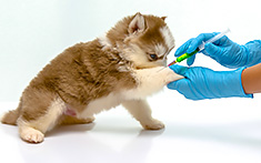 Young puppy getting vaccination