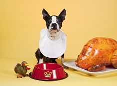 Boston Terrier salivating over an empty food bowl with an inflatable festive turkey