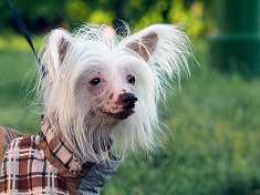 Chinese Crested dog wearing clothes to cover bare skin